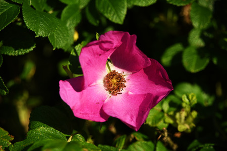 Big pink flower in sunny shine in summer time