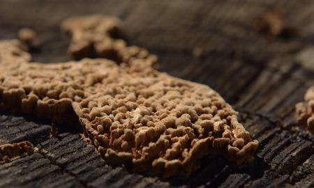 木製の木の切り株に寄生の茶色のキノコ
