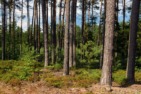 castles needle: Pine tree forest in sunny day in summer
