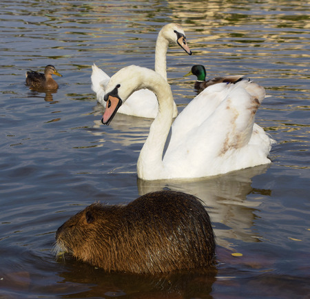 nutria: Swans and nutria near Vltava river in summer time Stock Photo