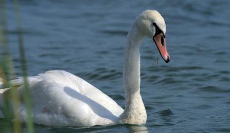 nad: Swans on big sea Milada near Usti nad Labem city