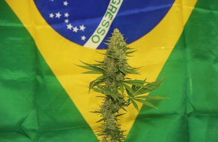 marihuana: Matanuska Tundra variety of aged medical marihuana with Brasil flag