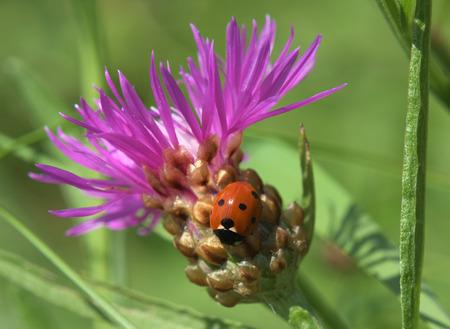 septempunctata: Ladybird on thistle flower in summer time Stock Photo
