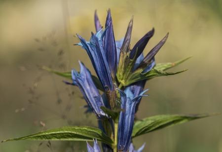 gentian flower: Gentian flower in Krkonose mountains in nice summer day Stock Photo