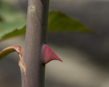 Rose thorn with green leaf in summer day