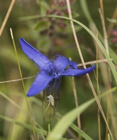 gentian flower: Gentian flower on morning meadow in Slovakia mountains Stock Photo