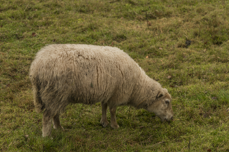 Sheep on green meadow in autumn time Stock Photo