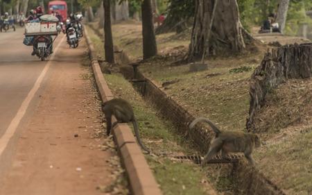 clay stone road in jungle: Gibbon monkeys near Angkor Wat temple in hot sunny evening Stock Photo