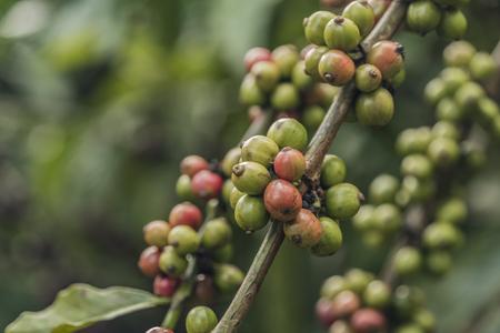 dalat: Coffee on farm near Da Lat city in Vietnam Stock Photo