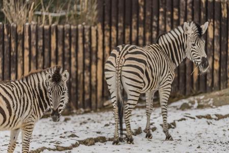 Zebra in winter time Stock Photo