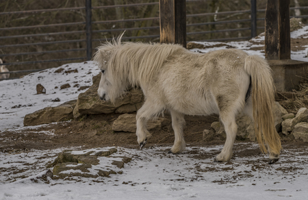 Small horse in ZOO Liberec in winter cold day Stock Photo