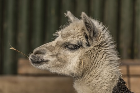 Lama guanicoe Stock Photo