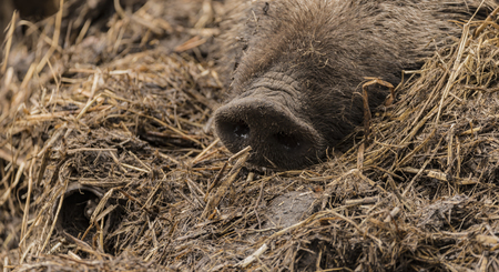 Detail of nose of wild pig lying on wet dirty hay in cloudy spring day