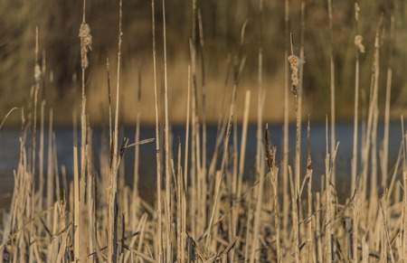 cheroot: Rushes near pond in Usti nad Labem city in spring evening Stock Photo
