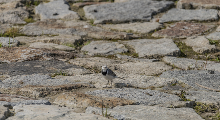 sitting on the ground: Wagtail bird on stone pavement in spring day