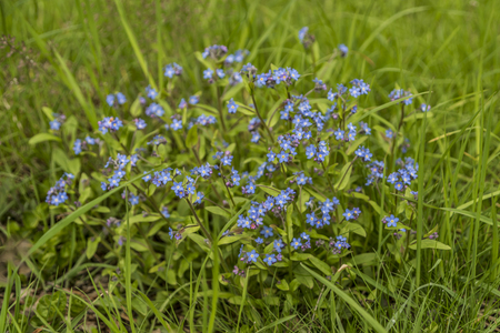 Blue Forget me not flower in green grass