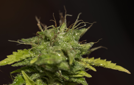 legalize: Yellow leaf of marijuana with aged bloom of window variety