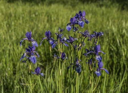 Iris sibirica in green grass in spring sunny day