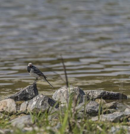 motacilla: Aves Wagtail cerca del lago en un día soleado de primavera