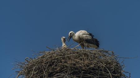 Stork on nest with dark blue sky in Pieniny national park Stock Photo