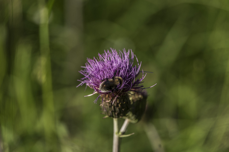 Violet thistle with insect in green grass in summer sunny day Stock Photo