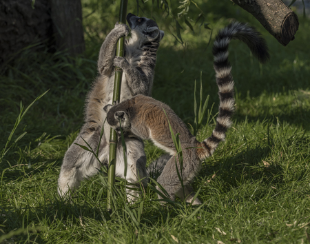 primates: Lemur with striped tail in sunny summer evening Stock Photo