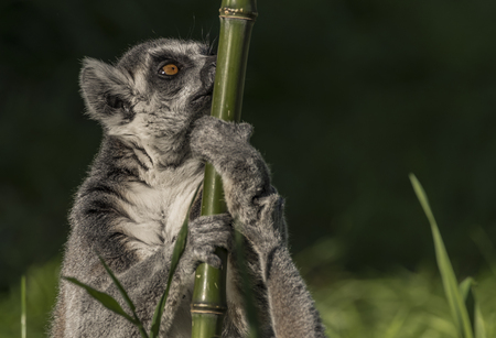 Lemur with striped tail in sunny summer evening Stock Photo