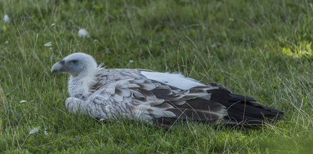 gyps: Himalayan vulture in green grass lying in afternoon