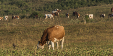 ruzomberok: Cows near Likavka village in summer morning with sunrise colors