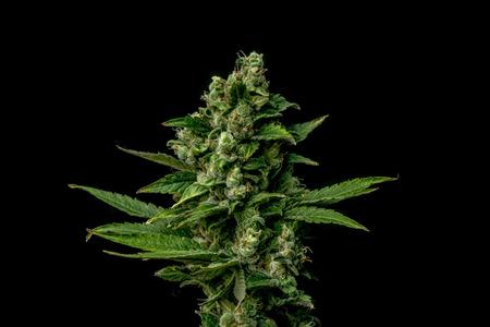 AK-47 variety of medical marijuana with black background Stock Photo