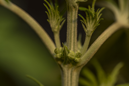 Detail of male flower of marijuana with new seeds