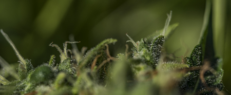 OG kush variety of medical marijuana in sunny spring day