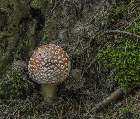 Amanita muscaria mushroom in needles forest near Zbytiny village in south Bohemia in atumn day
