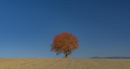Red orange cherry tree on dry field in autumn sunny day Reklamní fotografie