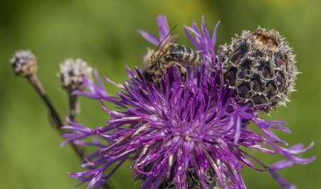 Color bee on violet thistle in hot summer day