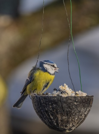 Yellow blue chickadee bird on coconut in winter frosty sunny day