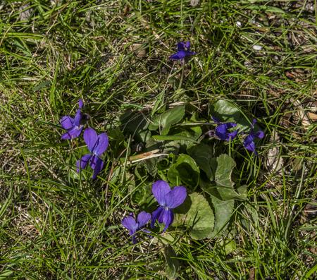 Violet flower in green spring fresh grass on sunny garden