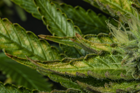 Macro detail of aged color leaf of Afghan kush variety of good marijuana
