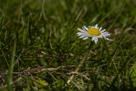 Young color daisy bloom in sunny hot spring day Reklamní fotografie