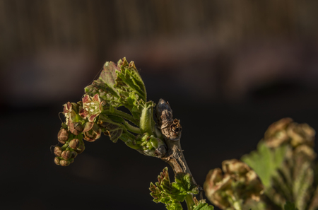 Young green bloom of currant in spring color garden Reklamní fotografie