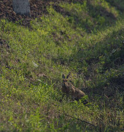Hase im grünen Gras in der Nähe der Bahnstrecke in der Ostslowakei im heißen Sommermorgen