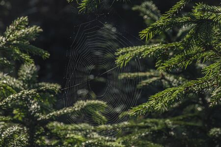 Cobweb on spruce trees in summer sunny wet morning