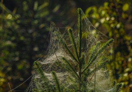 Color cobweb on spruce trees in summer sunny wet morning