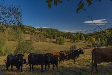 Cows with horns in color autumn sunny morning in Sumava national park Stock Photo