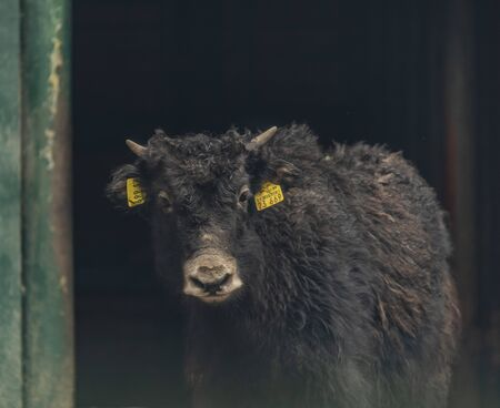 Young yak with black hair and small horn in large stable 写真素材