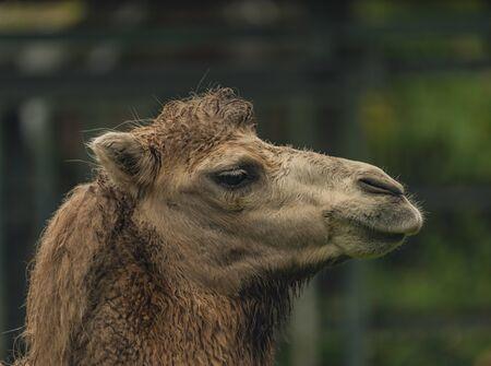 Brown female camel in autumn wet rainy green day Foto de archivo - 132124127