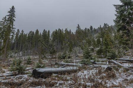 Blowdown in Sumava national park in winter snowy dark day