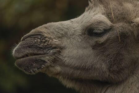 Brown female camel in autumn wet rainy green day
