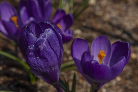 Violet crocus color nice flower in spring sunny hot day