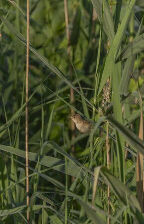 Small grey brown bird on green reeds near pond in spring morning Foto de archivo